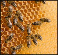 Honeybee Hive Removal In Temecula