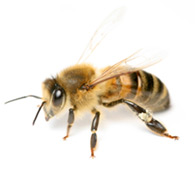 anaheim bee removal